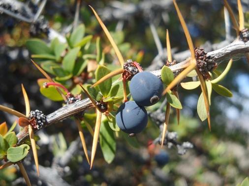 calafate-fruto